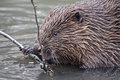 Close-up Of Beaver Stock Photo - 86323480