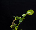 Late Blight On Potato Stock Photography - 86344002