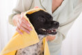 Woman Drying Her Dog With Towel At Home Stock Photos - 86368473