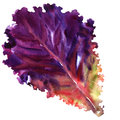 Salad Leaf, Fresh Red Lettuce Isolated, Watercolor Illustration On White Royalty Free Stock Images - 86390119