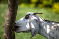 Goat Eating Bark Off A Tree Royalty Free Stock Photos - 86393698