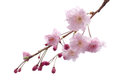 Full Bloom Sakura Flower Tree Isolated Cherry Blossom Stock Image - 86497791