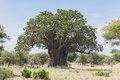 Baobab Tree Royalty Free Stock Photography - 86524787