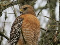Red-Shouldered Hawk Royalty Free Stock Photography - 86553387