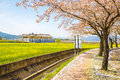 Cherry Blossoms With Rape Flowers At Spring Royalty Free Stock Photography - 86566737