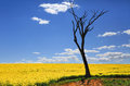 Bare Tree And Golden Canola In Spring Sunshine Stock Images - 86582024