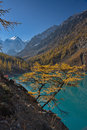 Yellow Larch Against The Background Of Turquoise Water Of The Lake And A Mountain Landscape Stock Photo - 86609030