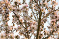 Almond Tree In Bloom Royalty Free Stock Photo - 86650505