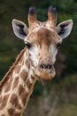 Giraffe Sticking Out Tongue Stock Photography - 86652062