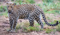 Magnificent Leopard Big Cat Royalty Free Stock Photos - 86652198
