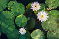 Lotus Flower And Leaf In Pond Water Surface Top View Outdoor Stock Photography - 86717362