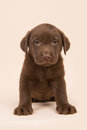 Chocolate Brown Labrador Retriever Puppy Sitting On A Beige Background Stock Image - 86748301