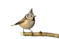 Isolated Crested Tit On Twig Stock Photography - 86880732