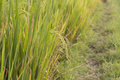 Paddy Field Stock Photo - 86961600