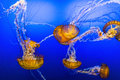Jelly Fish In Blue Water Stock Image - 86970381