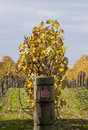 Autumn Vines 03 Royalty Free Stock Photography - 878357