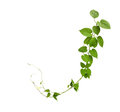Heart Shaped Green Leaf Vines Isolated On White Background, Clip Stock Photo - 87059790