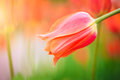 Red Tulip On The Background Of Green Grass Close-up. Royalty Free Stock Photography - 87080637