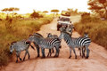 Africa, Tanzania, Serengeti - February 2016: Zebras On The Road In Serengeti National Park In Front Of The Jeep With Tourist Stock Images - 87081024