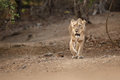 Asiatic Lion Female In The Nature Habitat In Gir National Park In India Stock Photo - 87096960