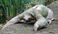 Three Clawed Sloth Royalty Free Stock Image - 87132666
