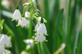 Beautiful Snow Drop Lily Flower In The Wild Royalty Free Stock Photography - 87141657