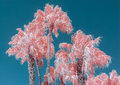 Palm Trees In Color Infrared Against Blue Sky Royalty Free Stock Photos - 87290068