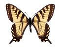 Tiger Swallowtail Royalty Free Stock Images - 8739309