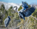 Great Blue Heron Stock Photo - 87307320