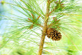 Pinecone Royalty Free Stock Photography - 87308327