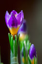 Closeup Crocus On Darck Background With With Dew Drops, Real Reflection Light. Concept Of Spring, Greetings, Holidays Royalty Free Stock Photos - 87309698