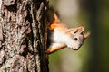 Cute Little Red Squirrel Royalty Free Stock Photo - 87327055