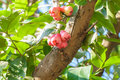 Rose Apple On The Tree Royalty Free Stock Image - 87370866