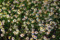 Meadow With Daisies Stock Image - 87376121