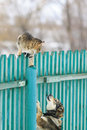 Angry Dog Chased The Cat On A High Wooden Fence In The Village Stock Photos - 87378373