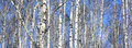 Beautiful Landscape With White Birches Stock Images - 87428864