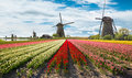 Vibrant Tulips Field With Dutch Windmills Stock Images - 87446324