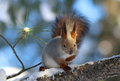 Sciurus Vulgaris. Red Squirrel Sitting On The Dry Branch Of The Royalty Free Stock Image - 87458566