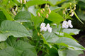 Young Shoots And Bean Flowers In The Field Stock Images - 87472874