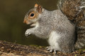 A Grey Squirrel Sciurus Carolinensis. Royalty Free Stock Images - 87489299