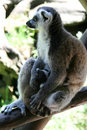 Ring-tailed Lemur Mother And Drinking Child Royalty Free Stock Photos - 8752628