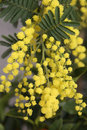 Mimosa Flowers On The Plant In March Royalty Free Stock Photos - 87527748