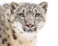 Snow Leopard In Snow V Royalty Free Stock Images - 87535299