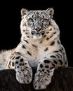 Snow Leopard XXX Royalty Free Stock Images - 87535399