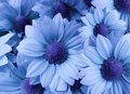 Flowers Daisies Light Blue. Close-up. Floral Collage. Spring   Composition. Royalty Free Stock Photos - 87562188