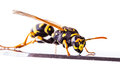 Wasp On A Metal Surface Stock Images - 87594524