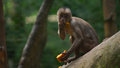 White-fronted Capuchin Eating Papaya. Common Names: Mono Capuchino. Royalty Free Stock Photography - 87625557