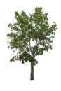 Closeup Big Tree Isolated On White Royalty Free Stock Images - 87634189