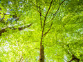 Spring In The Forest. Bottom View Tree With Lush Bright Green Leaves Illuminated By Sun. Natural Background Wallpaper Stock Image - 87695521