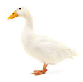Duck On White. Royalty Free Stock Photography - 87727267